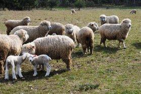 Entre Ríos sumó más de 100 mil cabezas de ganado ovino en los últimos cuatro años