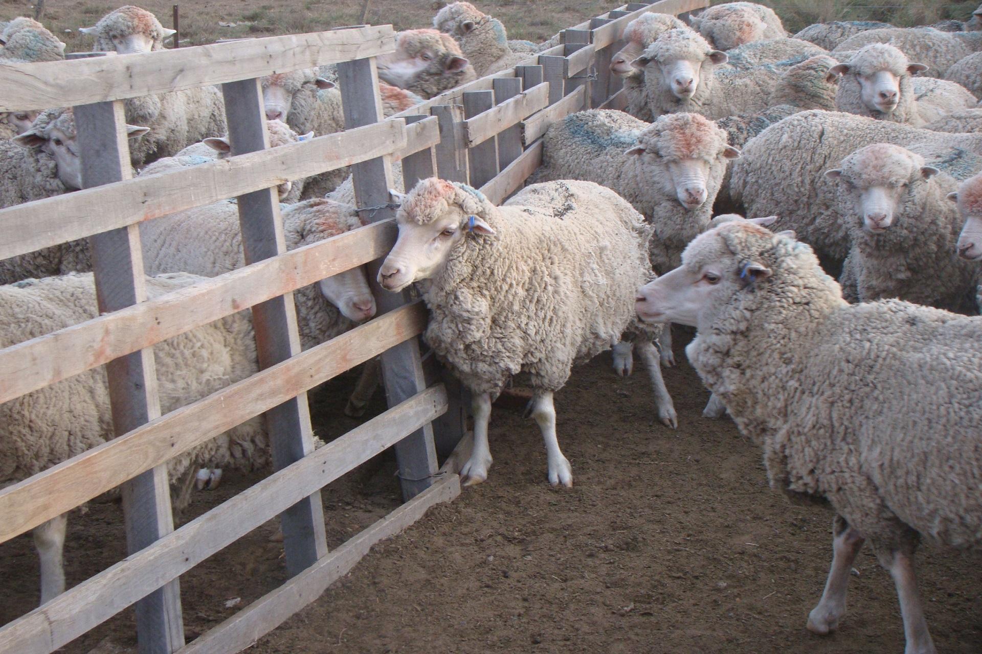 La Provincia trabaja junto a productores ovinos y caprinos para potenciar la actividad