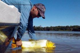 Alertan sobre la veda para la pesca del dorado en Entre Ríos