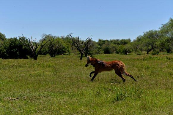 Un ejemplar de aguará guazú fue liberado en la reserva Don Sebastián en Entre Ríos