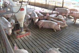 La producción porcina entrerriana crece con el apoyo de la provincia a las granjas familiares