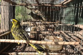 Rescatan y trasladan cardenales amarillos a una reserva de Gualeguayhú